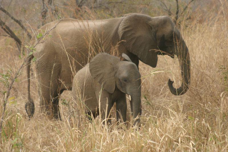 Les hippopotames et éléphants en voie d'extinction au Togo, le tourisme en pâti