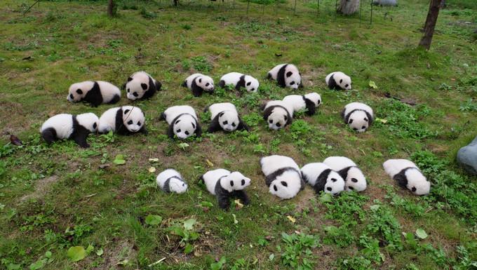 So Cute! 36 New-born Panda Cubs Debut in SW China