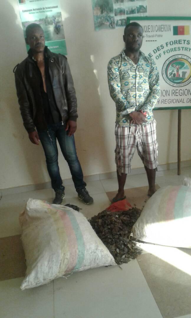 Le nombre de personnes arrêtées pour trafic d'écailles de pangolin est croissant.