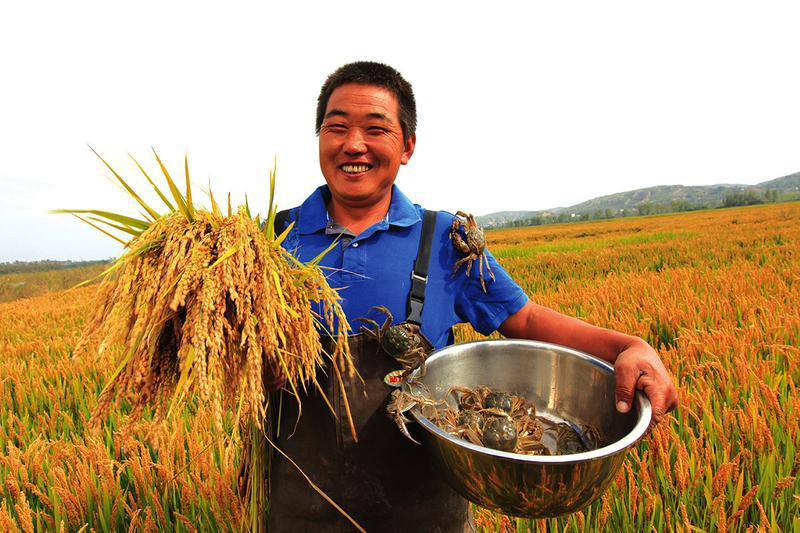 A farmer harvests rice and collects crabs in Hengshan district of the city of Yulin in northwest China's Shaanxi Province. (Photo: Hengshan District People's Government website)
