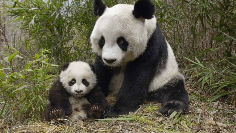 Commentary: China's giant pandas bring more than joy to world