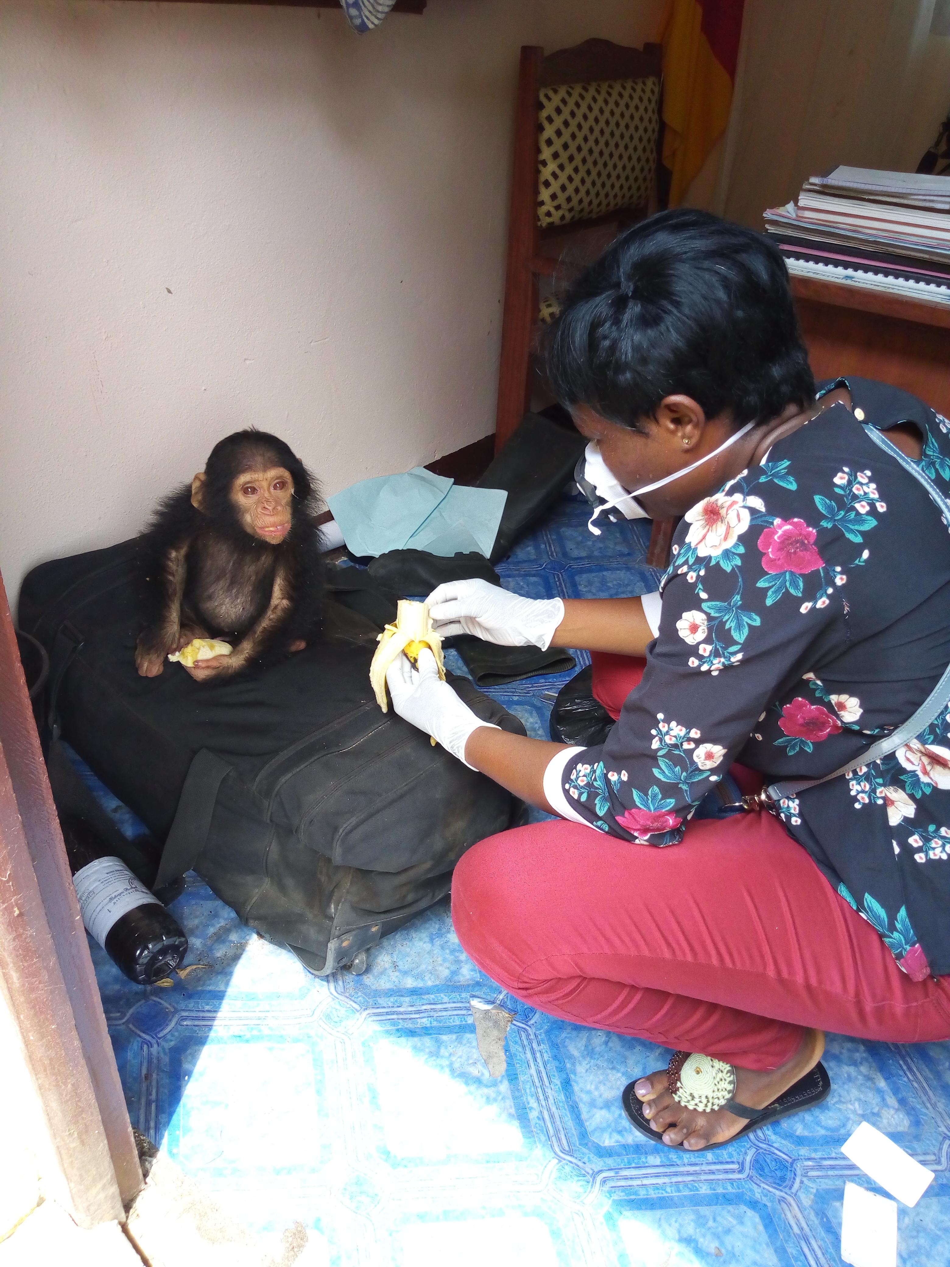 Le commerce illégal des bébés chimpanzés commence généralement par l'abattage de leurs mères.