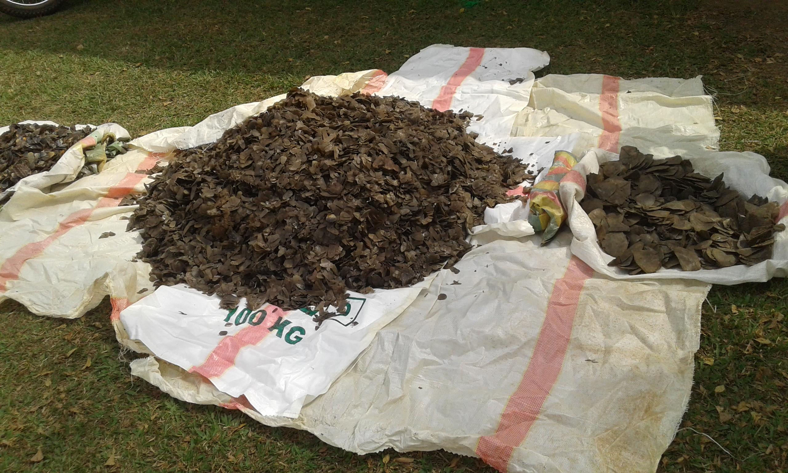 Les pangolins sont connus pour leur viande et leurs écailles qui deviennent une importante marchandise pour les trafiquants du monde entier.