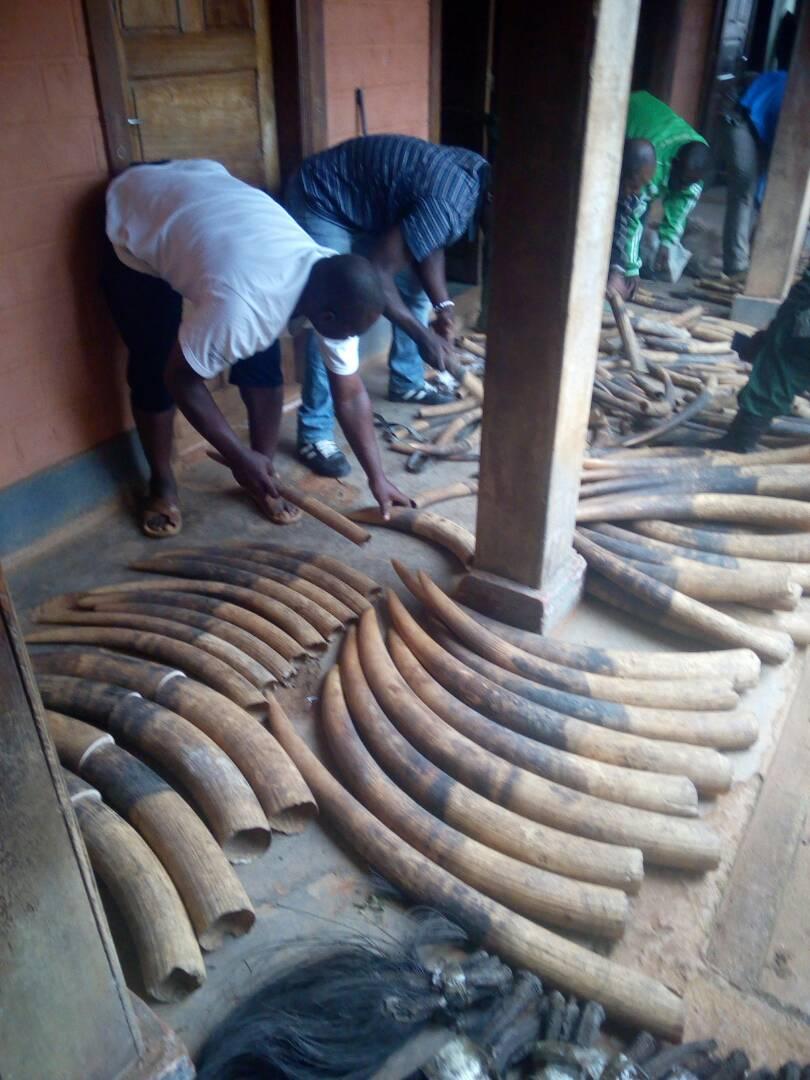 Cameroun/Djoum : Un colonel cité au tribunal pour trafic faunique