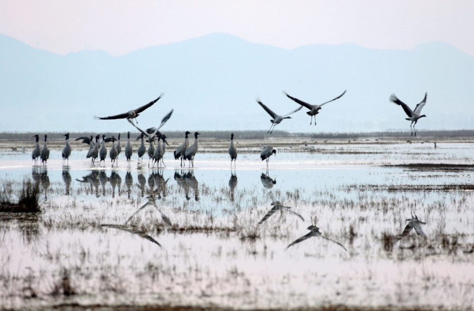 Migratory black-necked cranes are ready to fly north after wintering at the Caohai National Nature Reserve, a plateau wetland in southwest China's Guizhou province, Mar. 9, 2018. A good many migratory birds choose to live through winter at the reserve thanks to its well-preserved environment. (CFP photo)