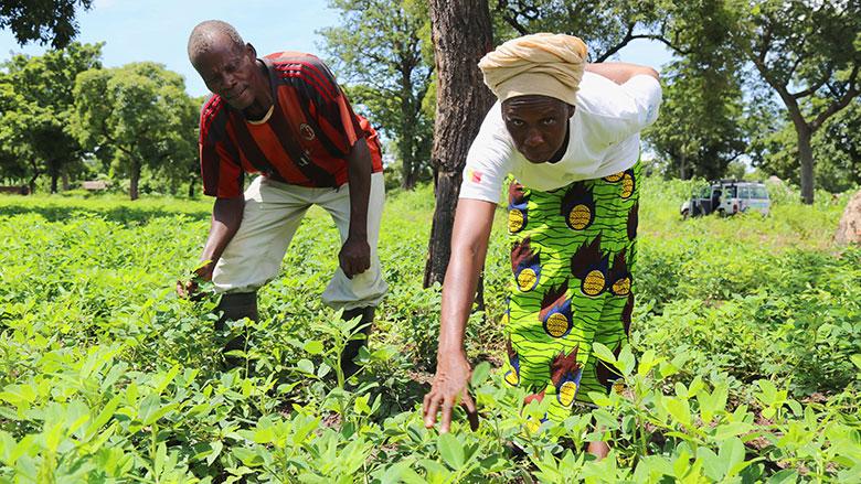 Daniel Debah, président des Multiplicateurs de semences, un groupement agrée par l'Office national de développement rural (ONDR) du Chad, travaille dans son champ d'arachide avec sa femme.   © Edmond Dingamhoudou/Banque mondiale