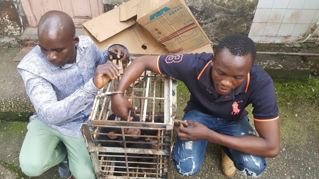 Le commerce illégal de jeunes chimpanzés commence généralement par l'abattage de leurs mères.