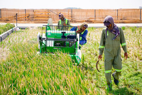Workers reap rice in Dubai. Photo: Courtesy of Qingdao Saltwater Rice Research and Development Center
