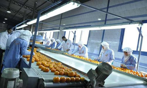 Top: Workers at the packing factory of the Nile International Trading Company are sorting out oranges to be exported to China. Photo: Courtesy of Nile Establishment for International Trade