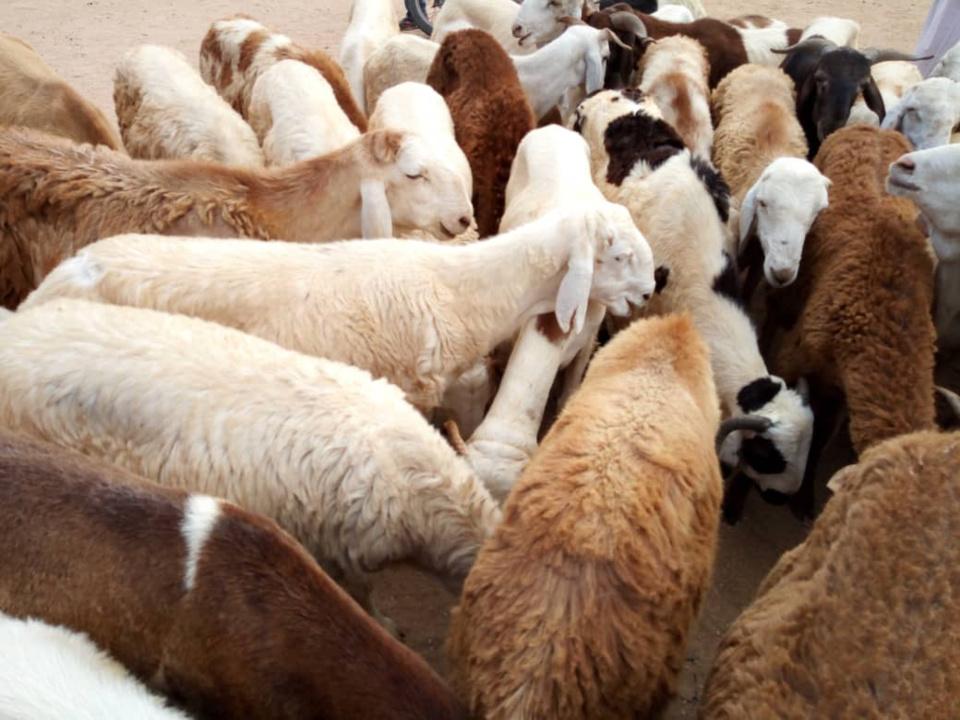 Des moutons en vente dans un marché à bétail au Tchad. © AlWihda Info