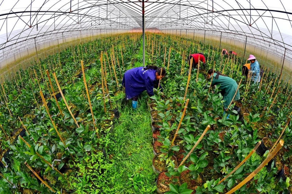 Villagers weed for navel orange saplings at a sapling breeding center in Qianfeng village, Mazhou township, Huichang county of Jiangxi province, Feb. 23, 2019. (Photo by Zhu Haipeng, People's Daily Online)