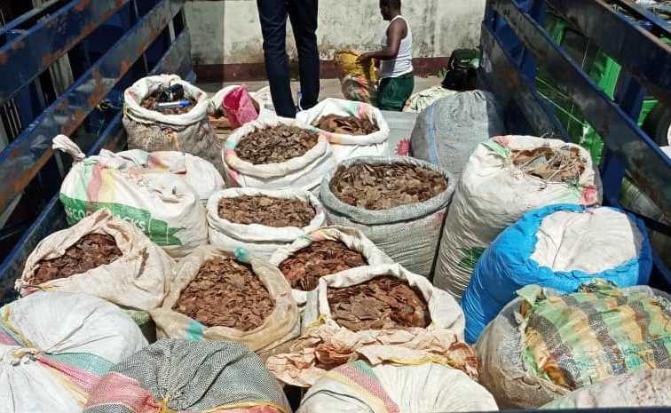 Écailles de pangolin saisies : le trafic de produits issus de la faune est la principale cause du déclin des espèces fauniques.