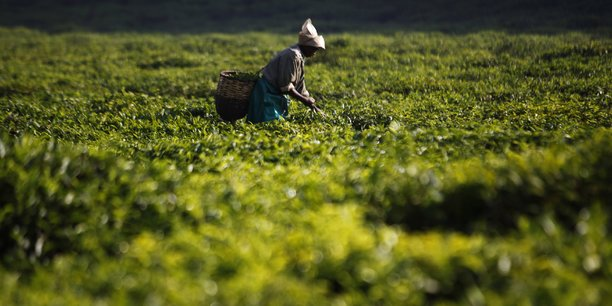 Un cueilleur de thé dans un champ à Mulindi, au Nord du Rwanda. © Finbarr O'Reilly/Reuters