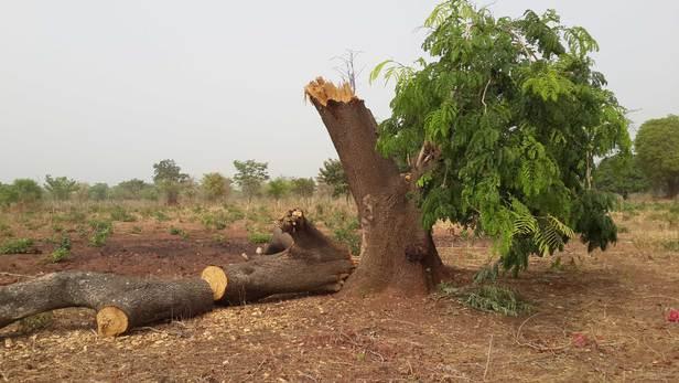 La déforestation au Tchad. © DR