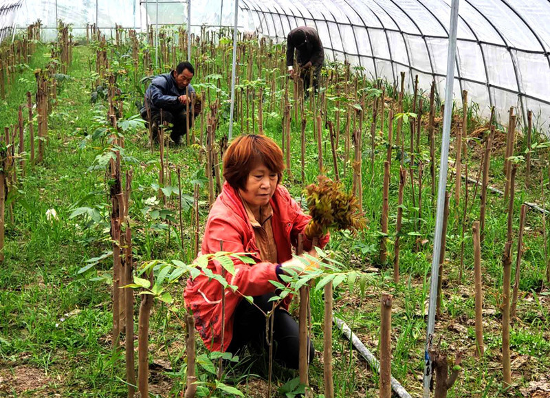 Zhang Baozhen, a farmer in Lujiang county, east China's Anhui province, harvests Chinese toon in her greenhouse on April 10, 2019. Zhang reaps a bumper harvest from about 0.27 hectares of Chinese toon fields, earning nearly 80,000 yuan this year. Photo: People's Daily Online