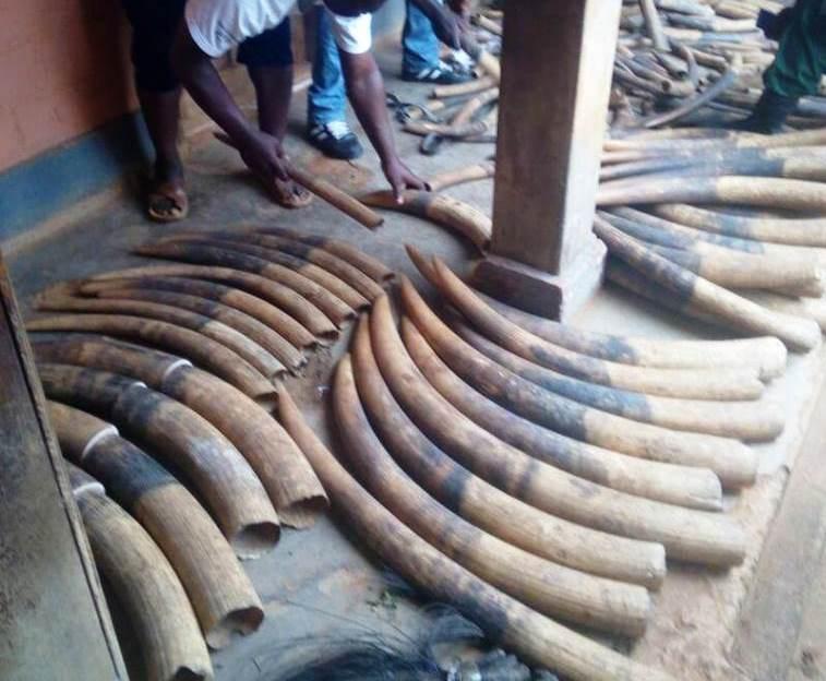 Les 216 défenses d'ivoire et des queues d'éléphants saisies dans un véhicule de la gendarmerie.