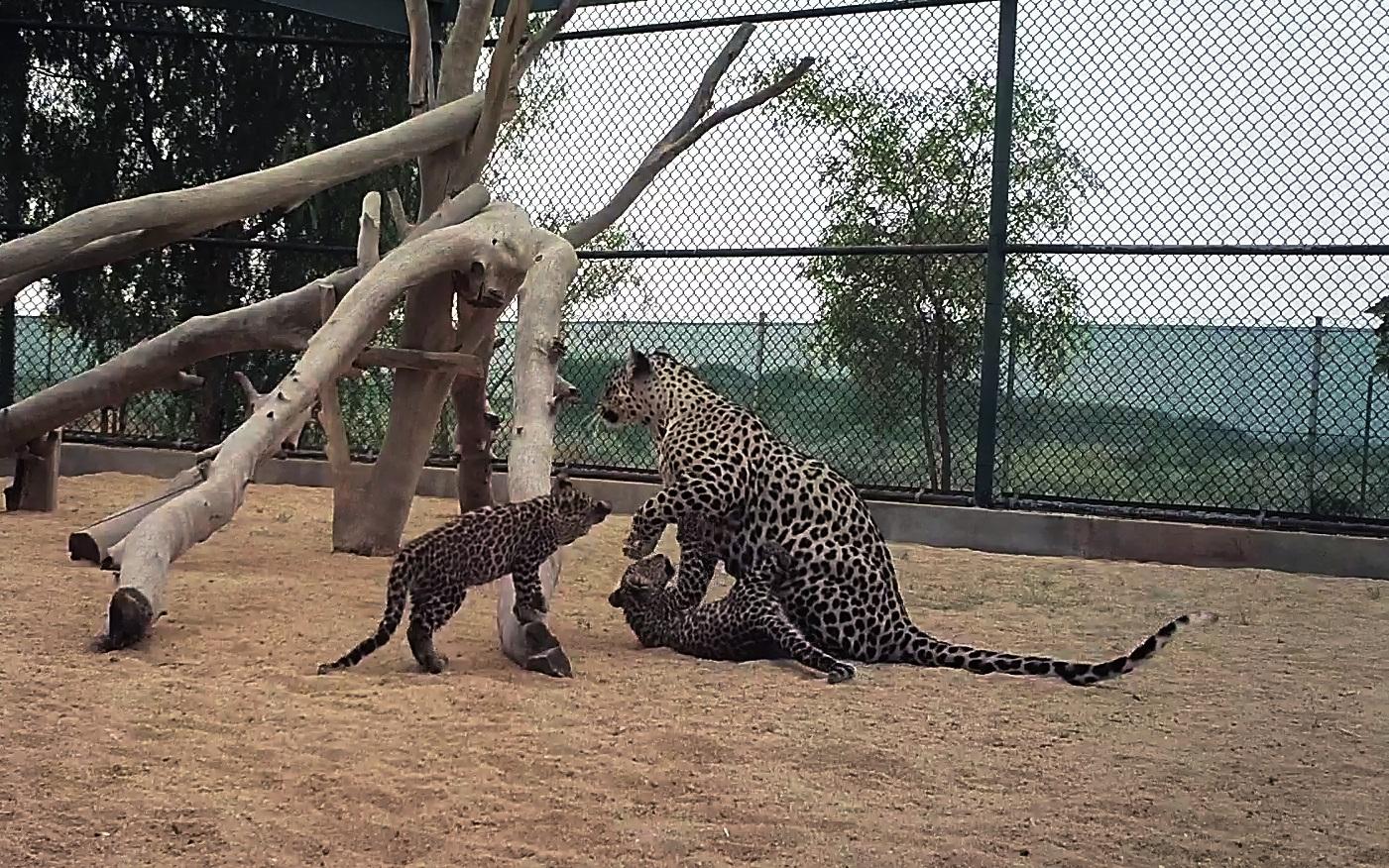 La Commission royale saoudienne d'Al-ʿUla annonce la naissance de deux bébés léopards d'Arabie. © AW
