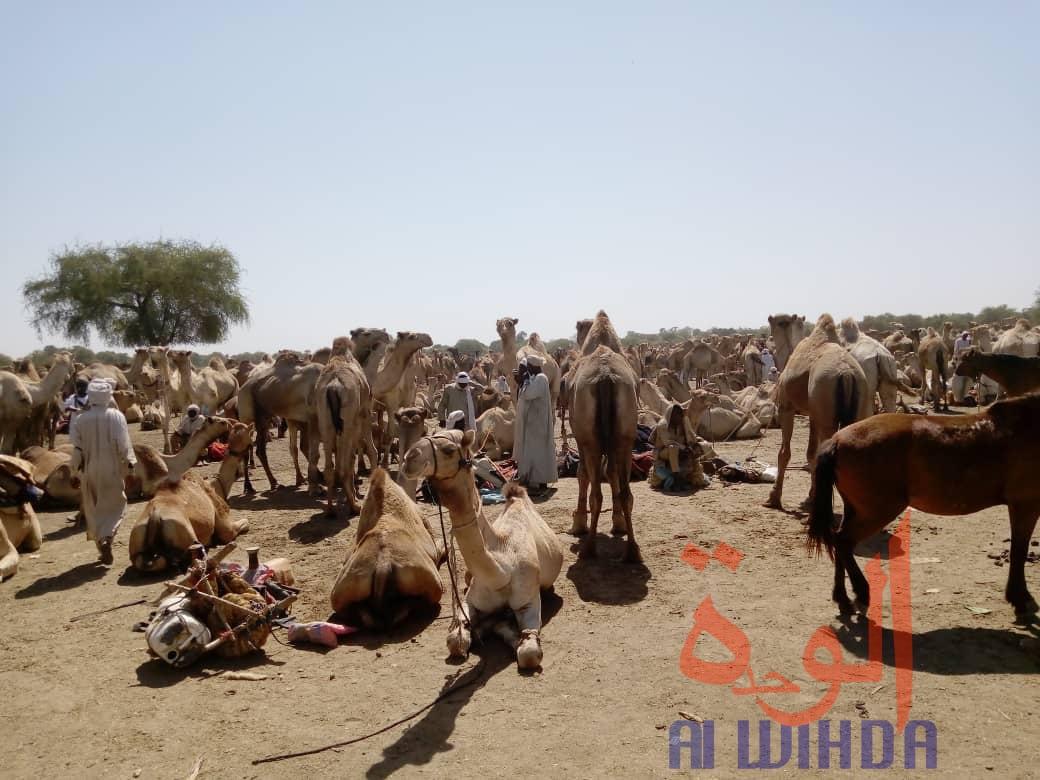 Le marché à bétail de Kerfi, à 45 km de Goz Beida. © Issa Gadaya/Alwihda Info