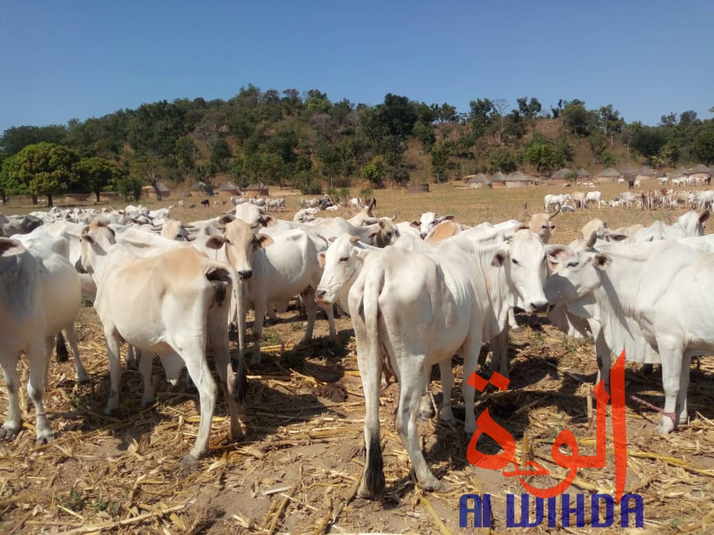 Tchad : le Mayo Kebbi Ouest, une province à fort potentiel animal. © Alwihda Info/Foka Mapagne