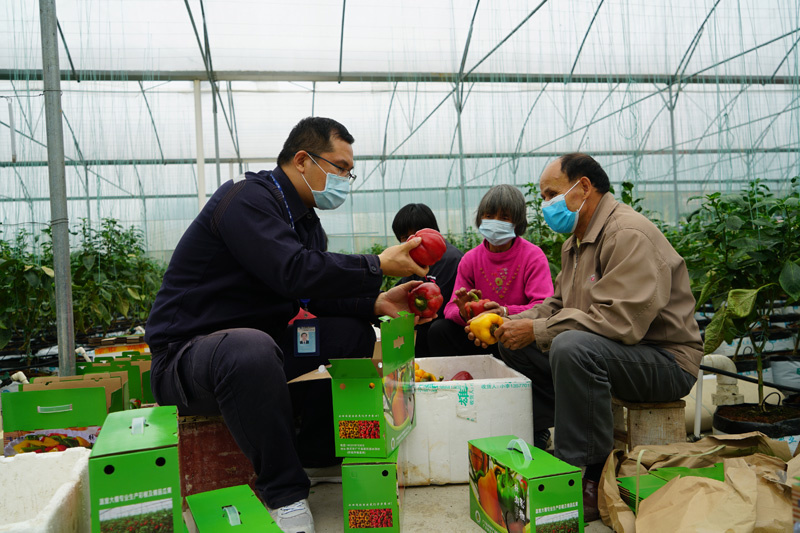 Gao Feng (left), a poverty alleviation cadre from Zhongshan Power Supply Bureau, China Southern Power Grid checks the growth of bell pepper with local farmers in a green house in Zhaoqing, Guangdong province. Photo courtesy of the State-owned Assets Supervision and Administration Commission of the State Council