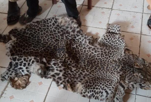 Cameroun /Kye-Ossi : Quatre personnes arrêtées avec une peau de panthère