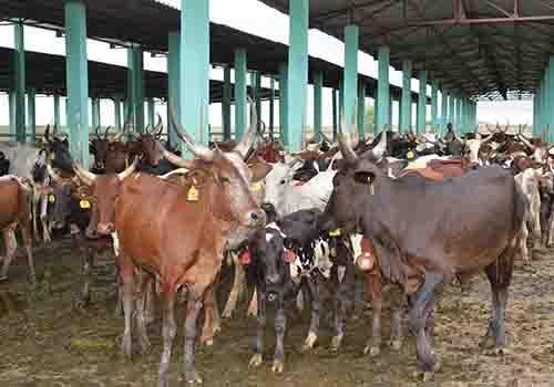 Des vaches à la ferme de Mandélia au Tchad. Illustration © DR/PrTd