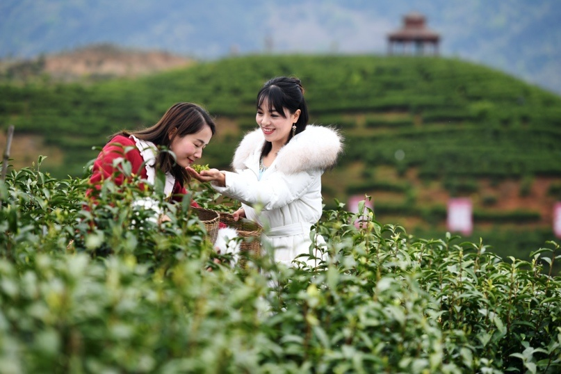 Tourists pick tea leaves at an ecological tea garden in Gongyi village, Daduan township, East China's Jiangxi Province on March 31. Photo by Zhou Liang/People's Daily Online