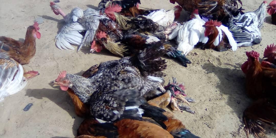 Tchad : à N'Djamena, le prix des volailles de plus en plus cher pour les consommateurs. © Mahamat Abdramane Ali Kitire/Alwihda Info