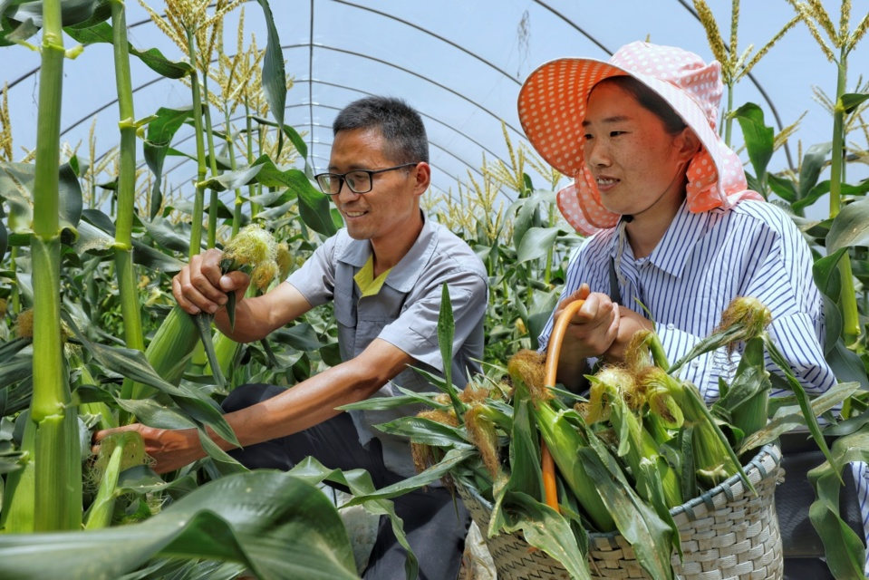 Farmers of a cooperative in Leyu township, Zhangjiakang pluck corns on May 13. Photo by Shi Bairong/People's Daily Online