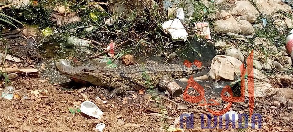 Tchad : des crocodiles sèment la panique à N'Djamena