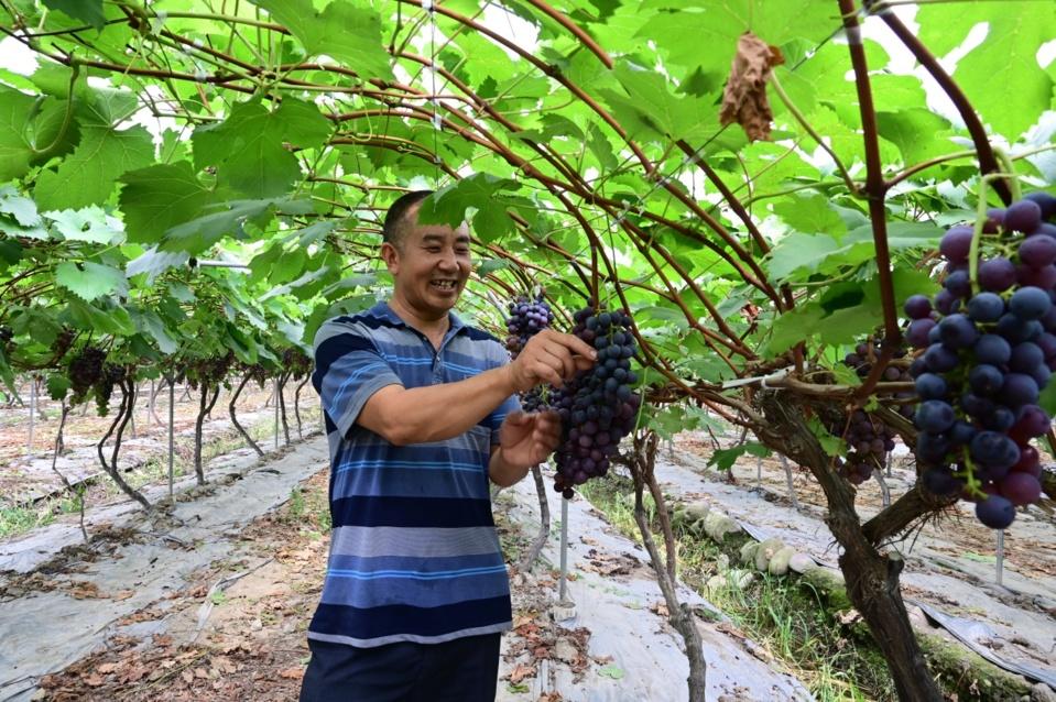 Zhang Yuanchao picks grapes in his grape orchard. (File photo)