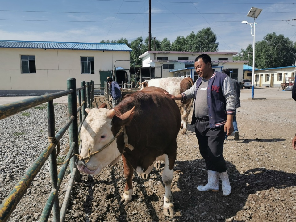 Ma Manai checks the condition of cattle. People's Daily/Wang Jintao