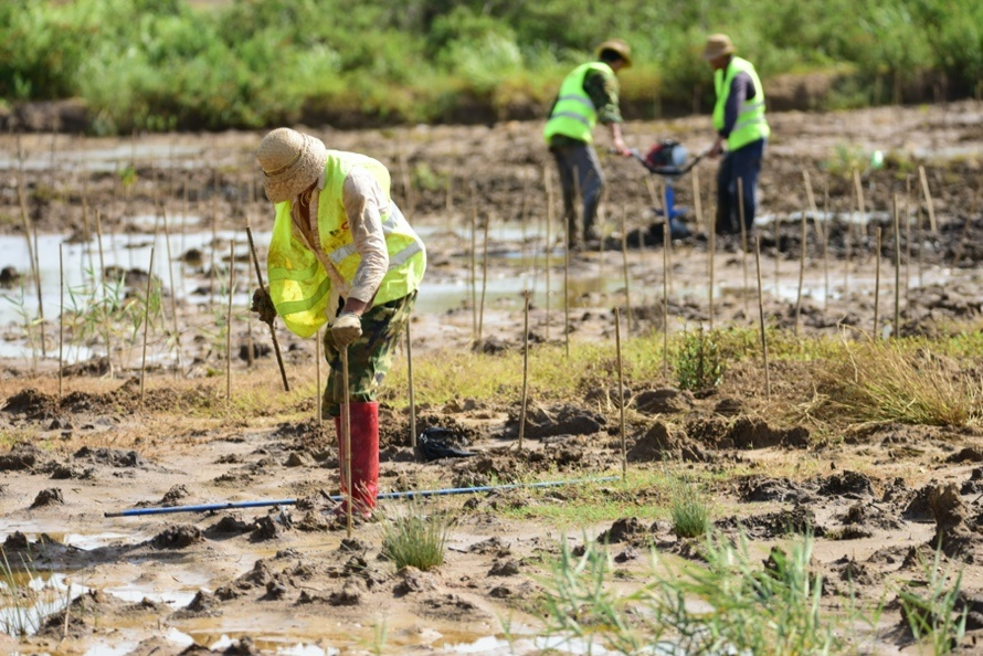 Staff members plant mangrove plants on a mud flat in Hainan Dongzhaigang National Nature Reserve, South China's Hainan Province on July 11. Photo by Meng Zhongde/ People's Daily Online