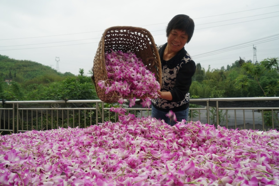 A farmer dries Dendrobium nobile Lindl in Chishui, southwest China's Guizhou province, May 12. The city has cultivated 6,000 hectares of the plant to boost the industry and the income of local residents as the plant boasts a high value in both medical use and sightseeing. Photo by Zhang Peng/People's Daily Online