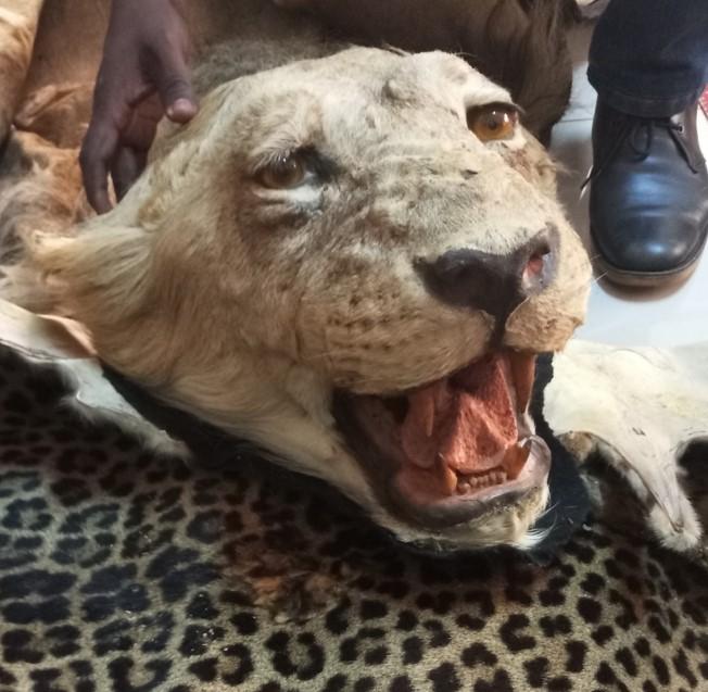 En Afrique centrale, le Cameroun possède la deuxième population des lions, après la RDC.
