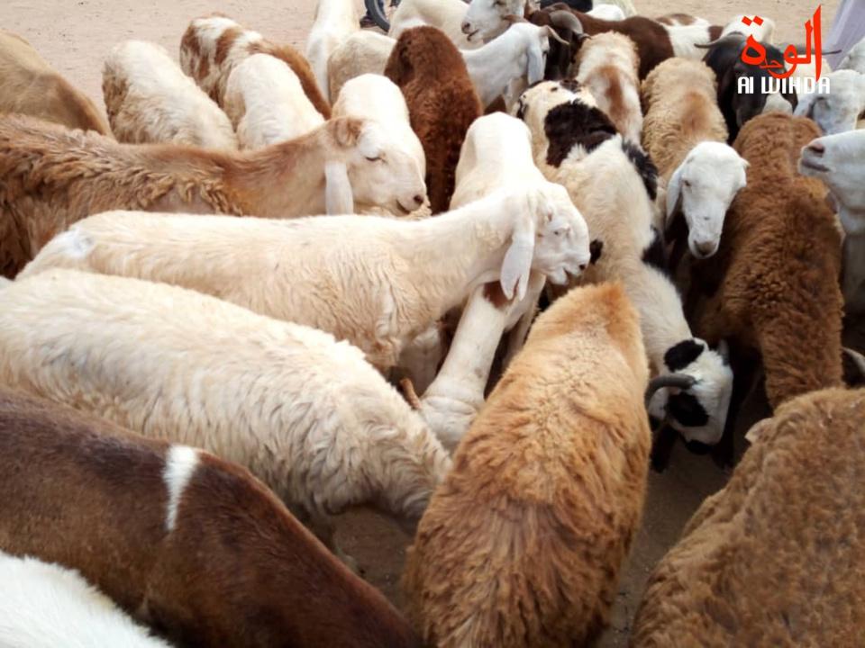 Un troupeau de moutons au Tchad. Illustration © Alwihda Info