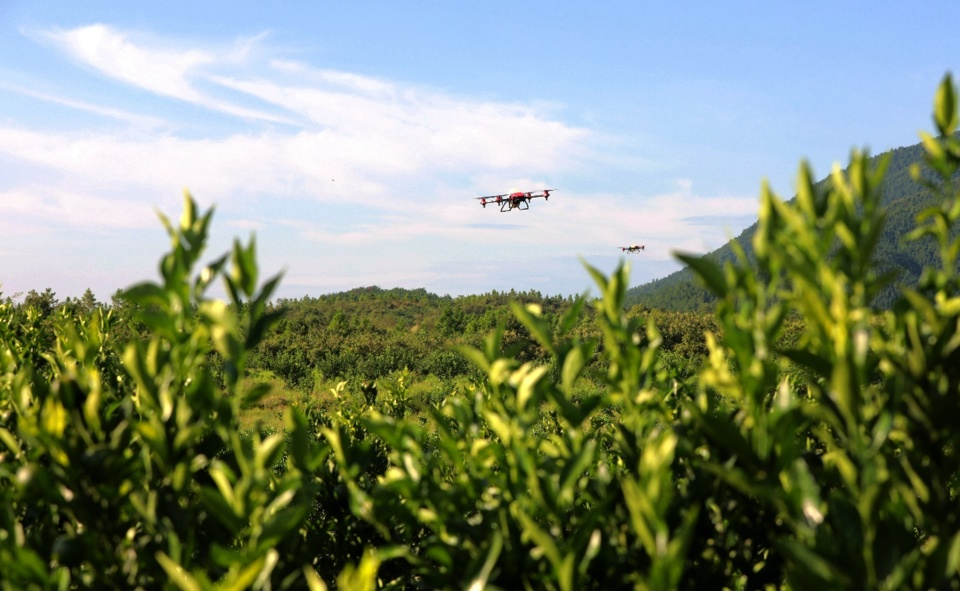 Agricultural drones are spraying chemicals for pomelo trees in Jishui county, east China's Jiangxi province. Photo by Liao Min/People's Daily Online