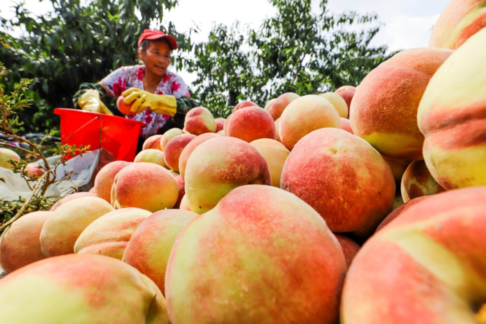 A villager harvests peaches in Dongjiuzhai village, Dongjiuzhai township, Zunhua, north China's Hebei province, Sept. 24. Photo by Liu Mancang, People's Daily Online