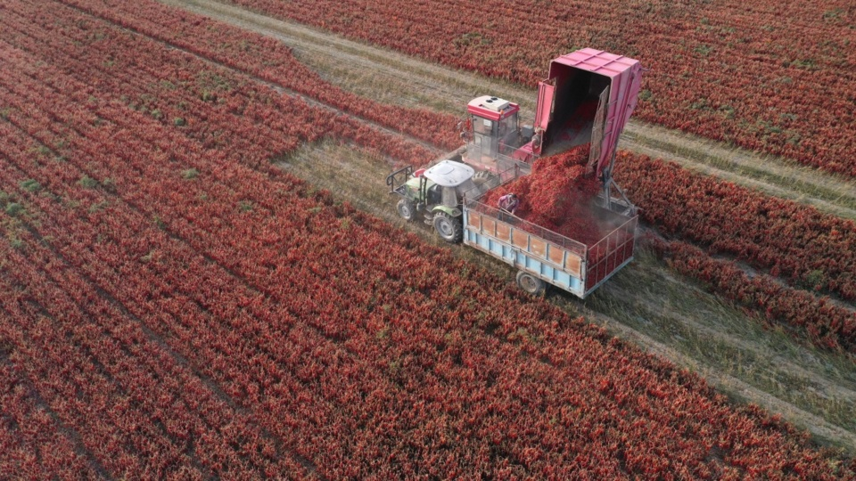 A harvester is working in a chili field in Bayingolin Mongol Autonomous Prefecture, Xinjiang Uygur Autonomous Region, Oct. 1. Photo by Chue Hurre, People's Daily Online