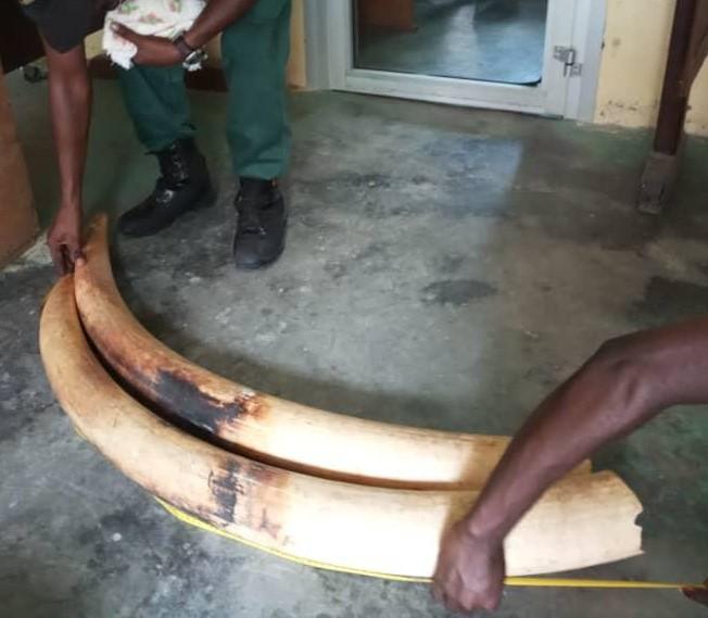 Deux défenses d'éléphant saisies.