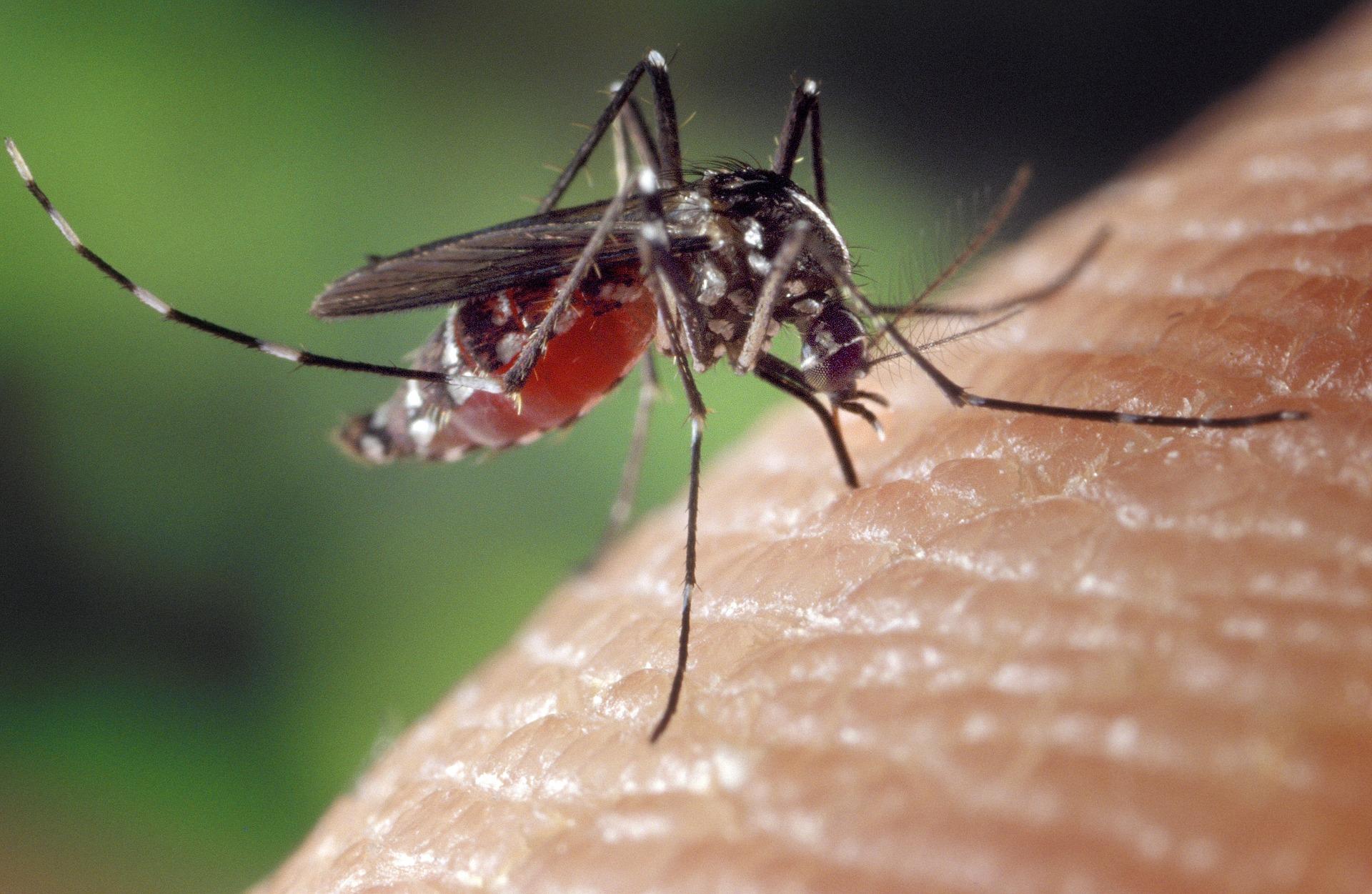 Un moustique. © Pixabay