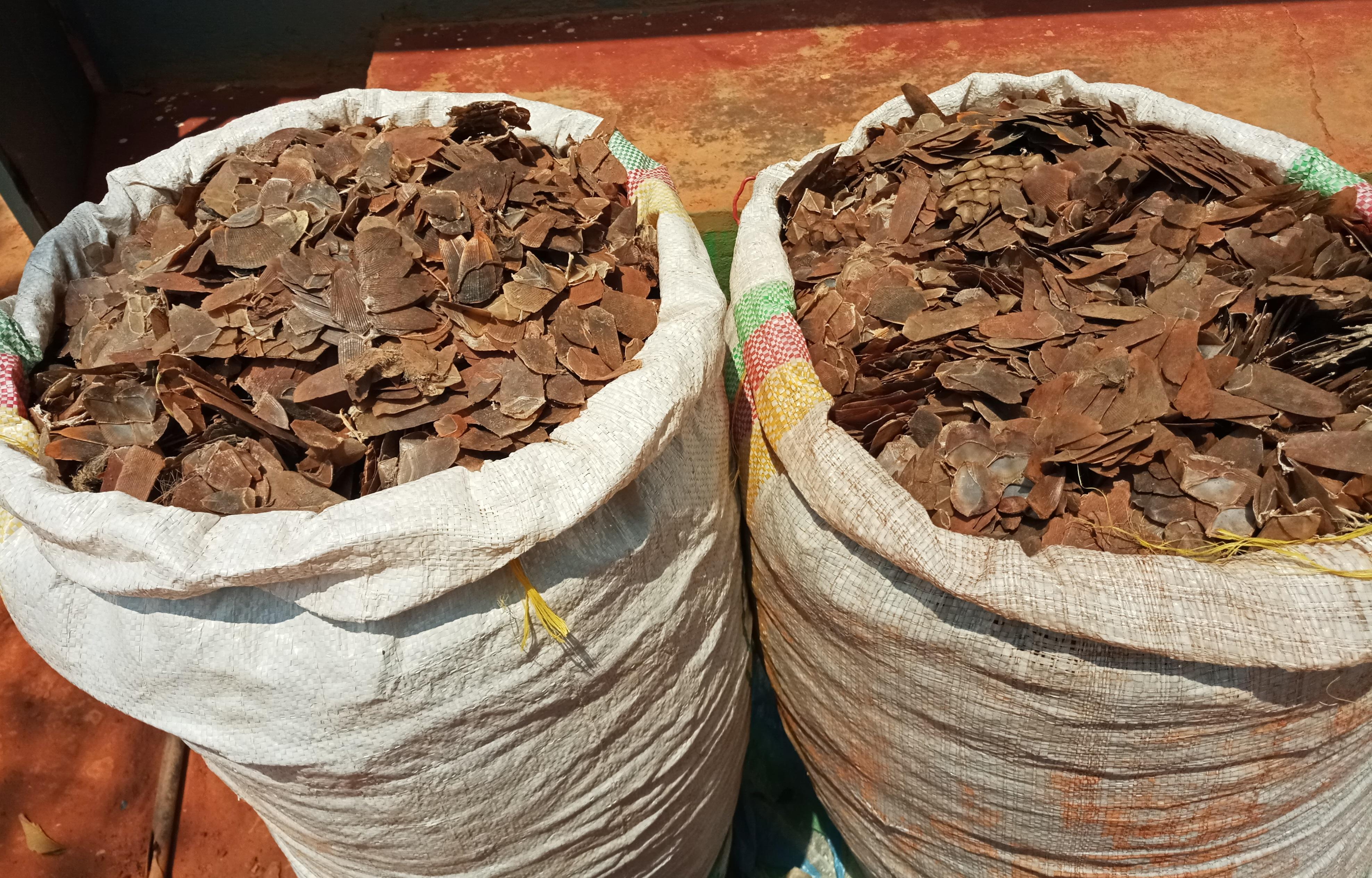 Cameroun : Un trafiquant de pangolin arrêté à Bertoua