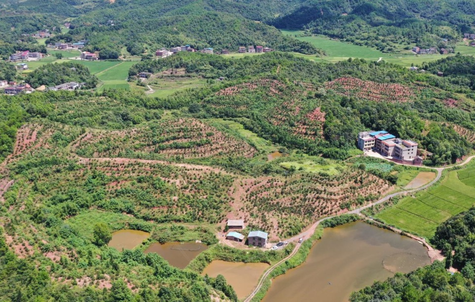 Photo taken on Aug. 7, 2020 shows a poverty alleviation camellia oleifera plantation in Dongjing village, Lanlong Township, Hengyang, central China's Hunan Province. (Photo by Liu Xinrong/People's Daily Online)