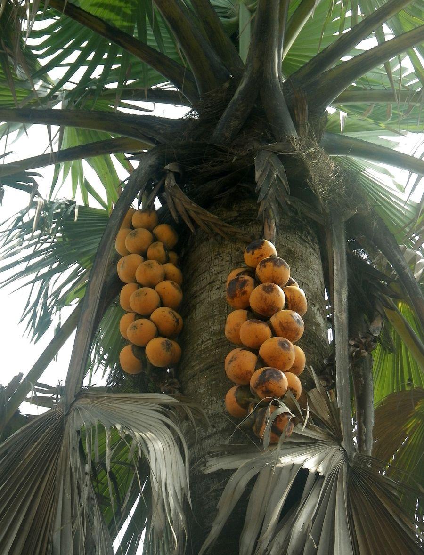 Tchad : Le rônier, une plante multi-usages à Ndjamena