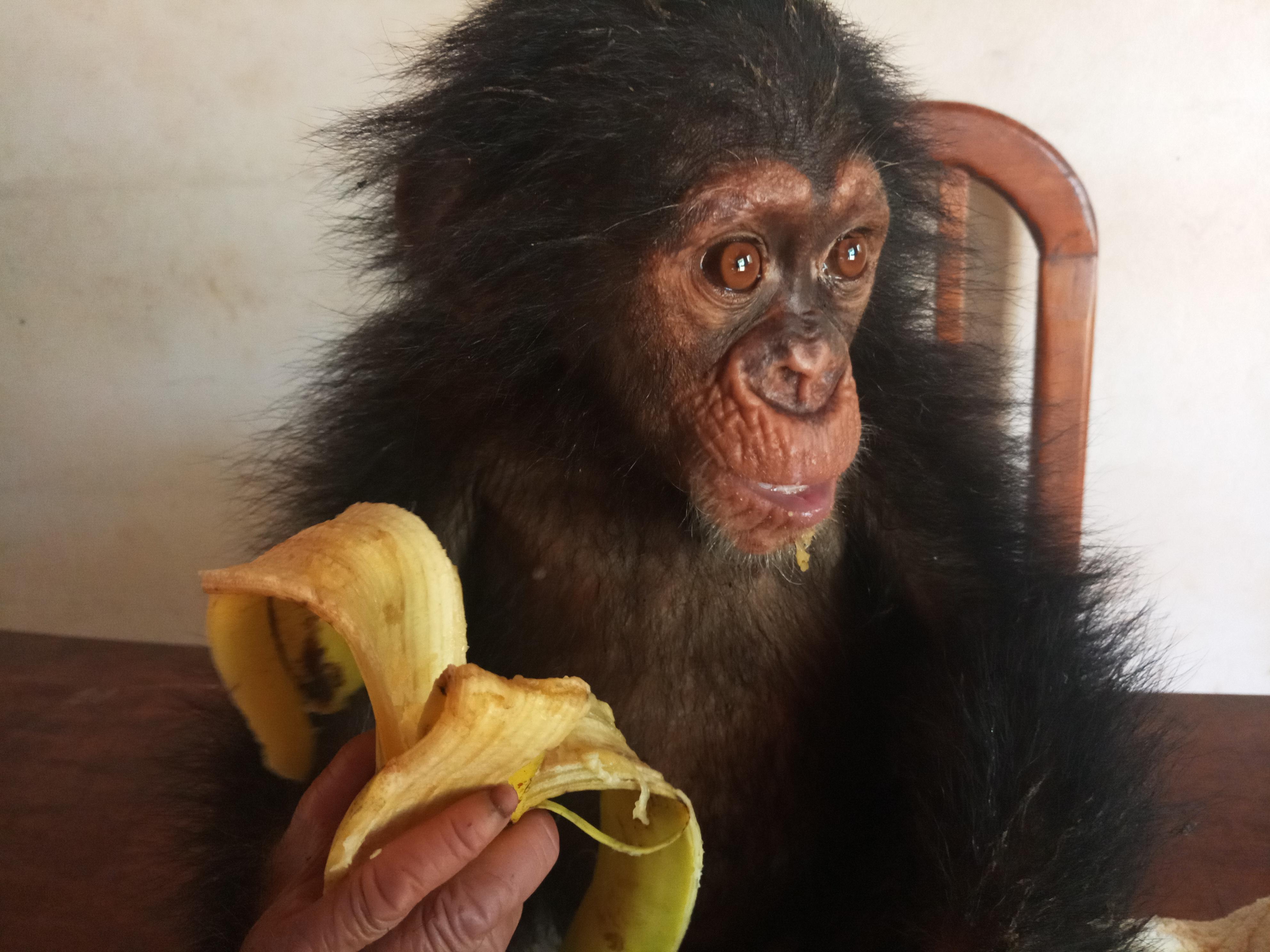 Cameroun : un homme arrêté en possession d'un bébé chimpanzé à Nanga-Eboko