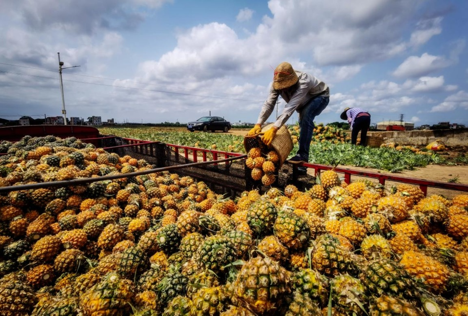 A farmer loads pineapples onto a truck in Qujie township, Xuwen county, Zhanjiang, south China's Guangdong province, April 14, 2021. (Photo by Chen Diqing/People's Daily Online)