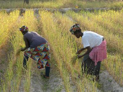 Sénégal/Riz : Des actionnaires de la Spcrs brandissent l'arme pénale pour se faire rembourser