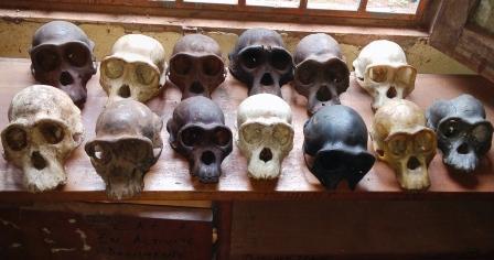 Cameroun /Abong-Mbang : deux individus arrêtés avec des crânes de chimpanzé