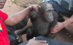 Cameroun /Batouri : un chimpanzé vivant secouru