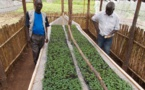 Potatoes grown from seeds may solve hunger in Africa